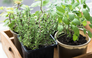 Herbs growing in container garden in senior living community